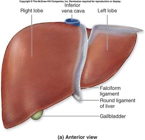anatomical location of the liver picture 10