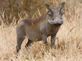 wart hog pictures picture 9