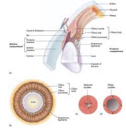 function of the ciliary muscle picture 21