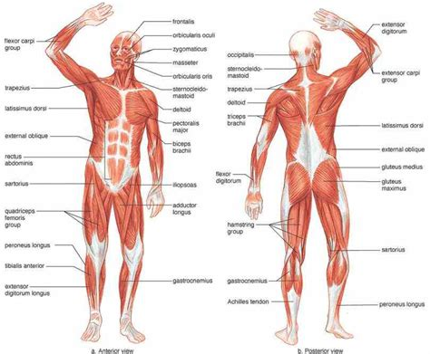 functions oe the muscle system picture 3