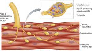 cardiac muscle and wave summation picture 9