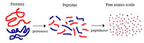 amino acids enzymes for blood flow picture 7