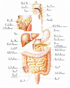 digestion tract picture 18