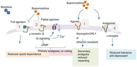 what supplement binds to opiate receptors picture 13
