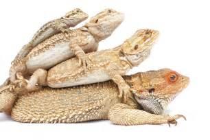 bearded lizard diet picture 5