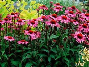 echinacea plants picture 7