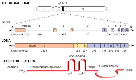 testosterone estrogen receptor picture 9
