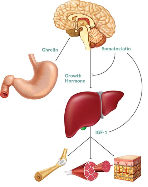 human liver diagram picture 1
