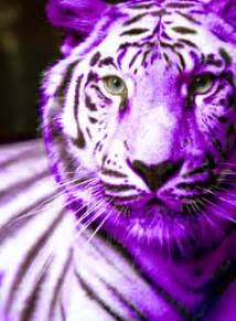 where can you buy purple tiger pills picture 5
