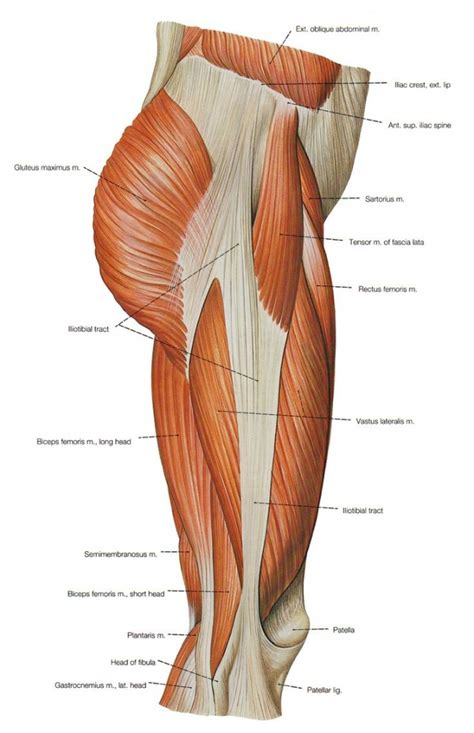 lower body muscle diagram picture 7