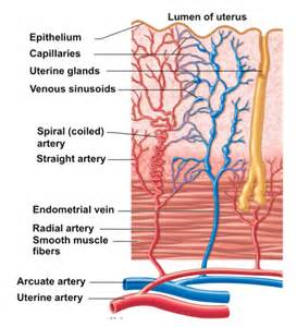 will blood flow to uturus decrease fsh picture 15