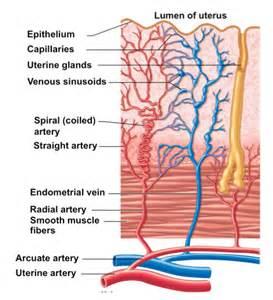 blood flow in uterus picture 1