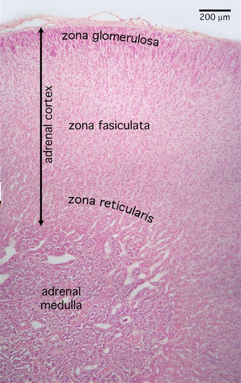hyperthyroid cat thytrophin picture 9