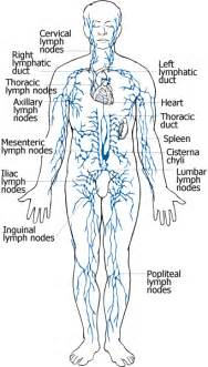 cellulite lymph system picture 10