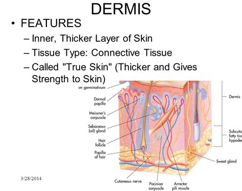 dermal layer of the skin picture 11