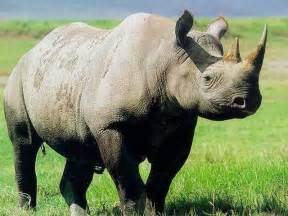 african rhino diet picture 5