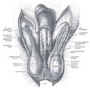 penis muscle pctures picture 5