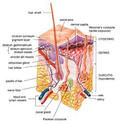 nerve regeneration and keratin picture 14