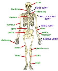 bones and joints picture 5