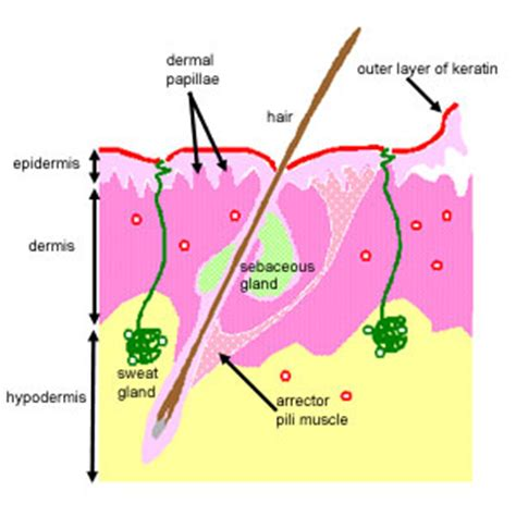 dermal layer of the skin picture 1