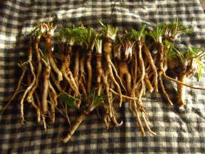 cancer & dandelion root picture 13