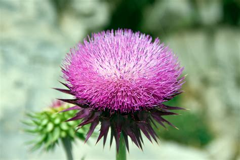 Milk Thistle Seed Extract picture 5