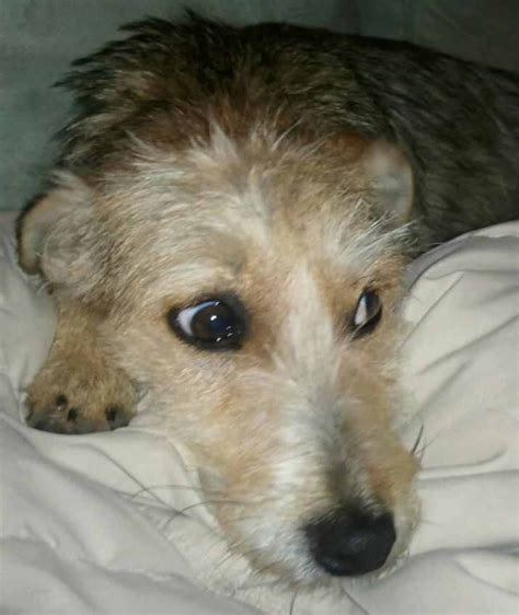 wire hair terrier rescue picture 3