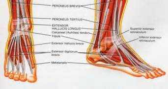 ankylet muscle picture 7