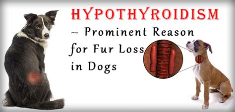 anemia hypothyroidism dogs picture 3