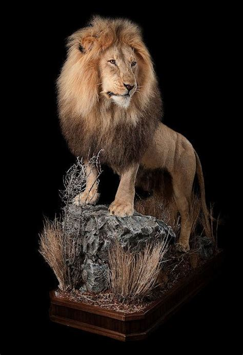african lion tooth taxidermy picture 18