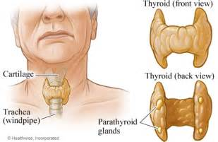 location of the thyroid gland picture 3