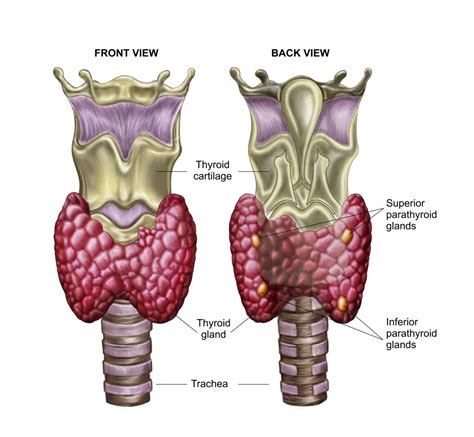 thyroid glands picture 3
