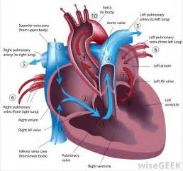 discovered blood circulation picture 2