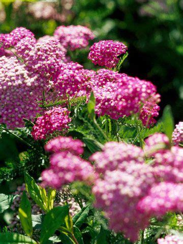 deadhead flowers yarrow picture 17