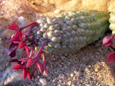 looking for information on hoodia picture 7