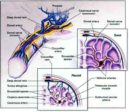 vidieo of human sexual anatomy and male penis picture 7