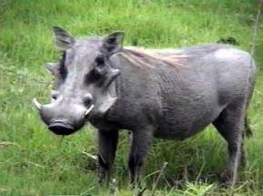 wart hog pictures picture 5