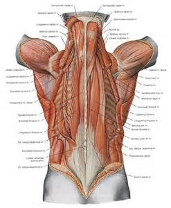 low back muscle charts psoasis muscle picture 15