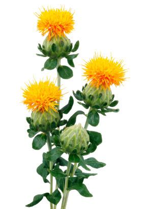 safflower picture 5