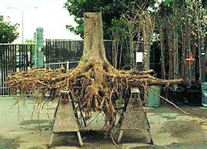 ginkgo biloba tree root system picture 1