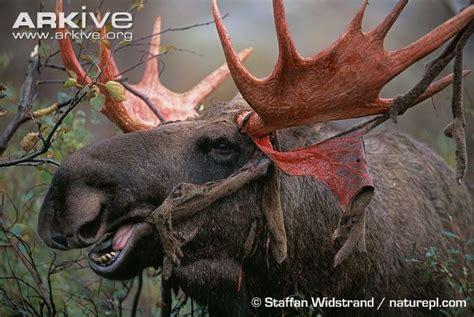 deer antler velvet make a woman horny picture 2