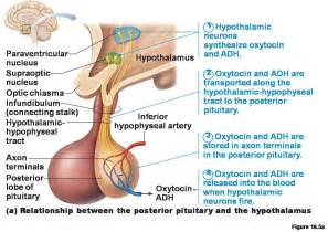 antidiuretic hormone and oxytocin are stored and released by the: picture 4