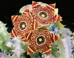caralluma fimbriata plant sale picture 14
