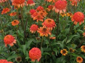 double flowered echinacea picture 6