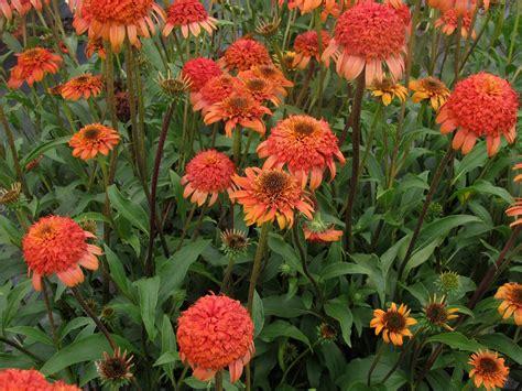 echinacea flower picture 9