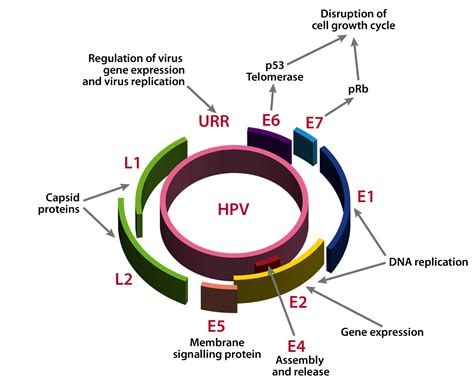 human papillomavirus e6 picture 3