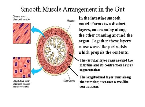 functions of smooth muscle picture 10