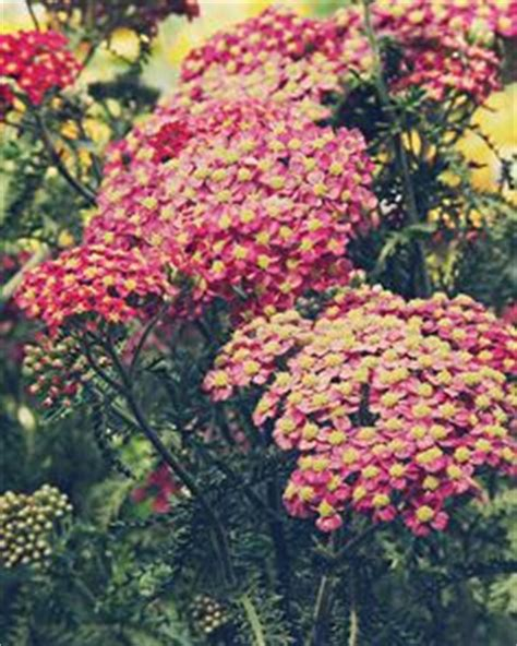 cut back yarrow picture 17