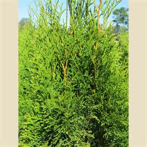 thuja and genital warts picture 9
