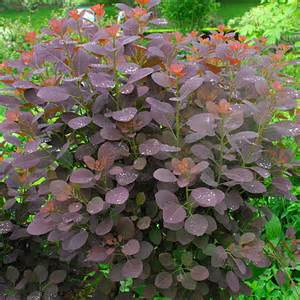 smoke bush maintenance picture 3